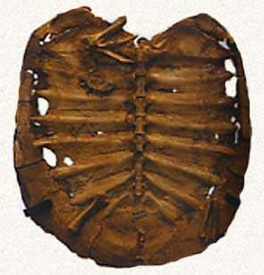 Carapace d'Araripemys